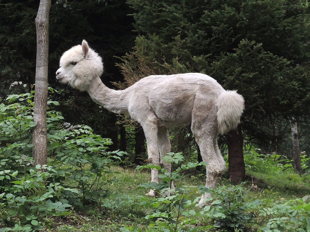 Alpaca a Premia copia Alpaca, lama, cammelli... novità da parco divertimenti o opportunità sulle Alpi?