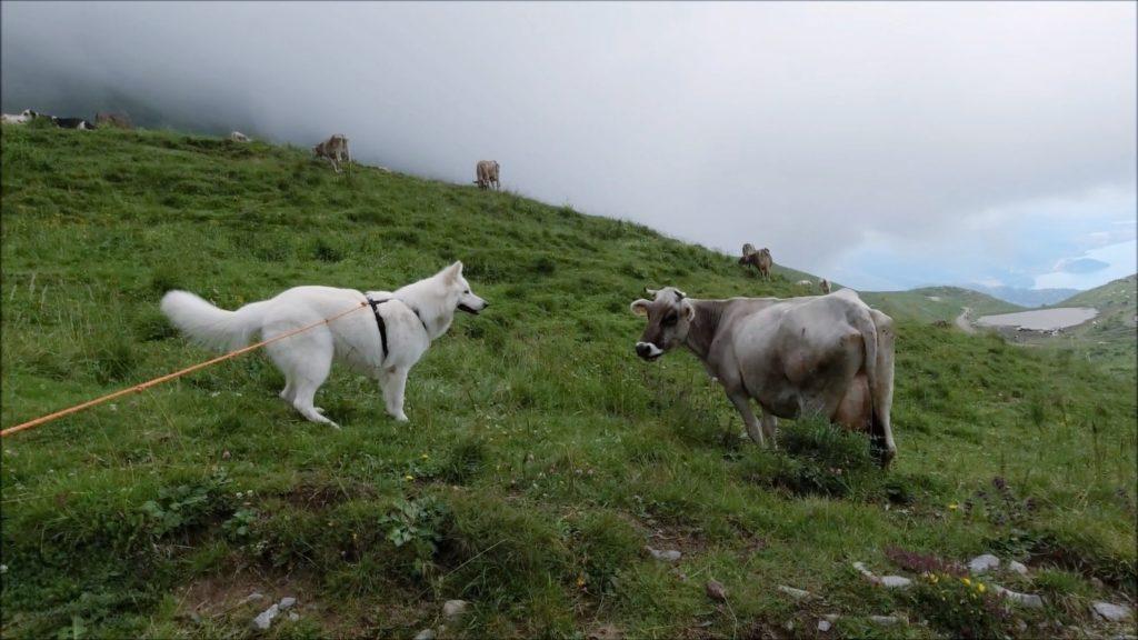 ShayelaMucca1 Cani e fauna in montagna: come comportarsi