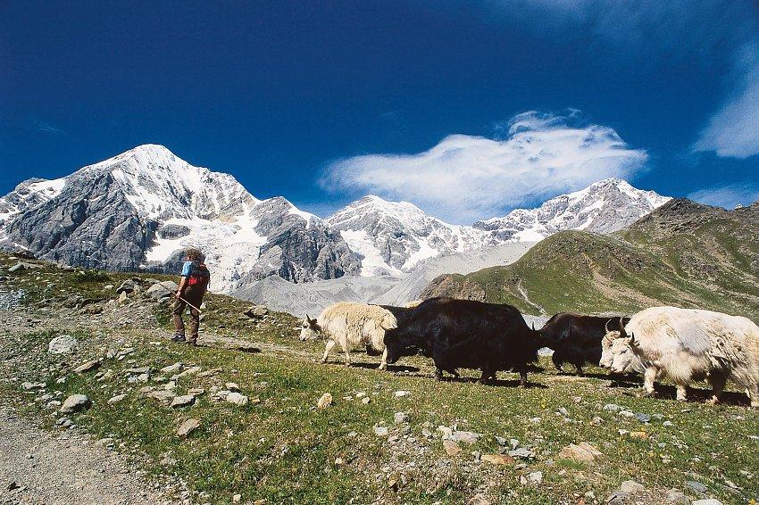image manager  content ortles2 Alpaca, lama, cammelli... novità da parco divertimenti o opportunità sulle Alpi?
