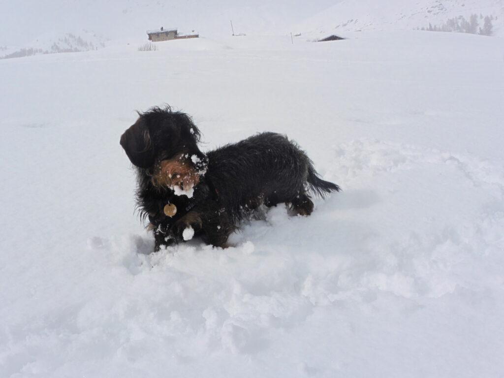 Cane sulla neve: bisogna sempre capire se e quando i nostri cani soffrono il freddo