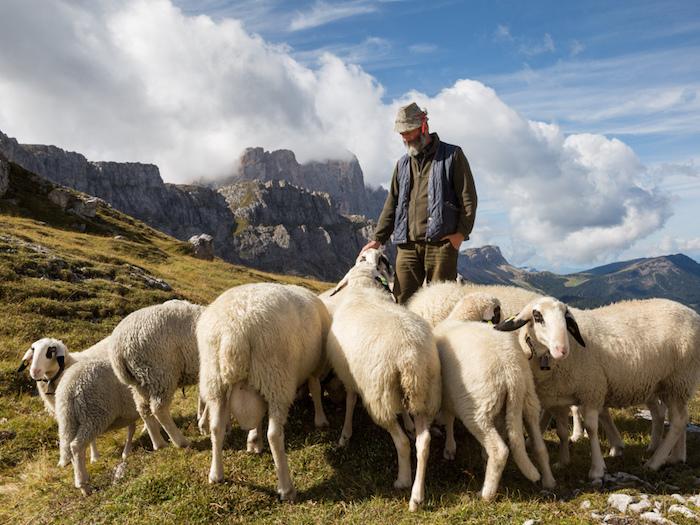 pecore con gli occhiali - pastore - val di Funes - Salewa