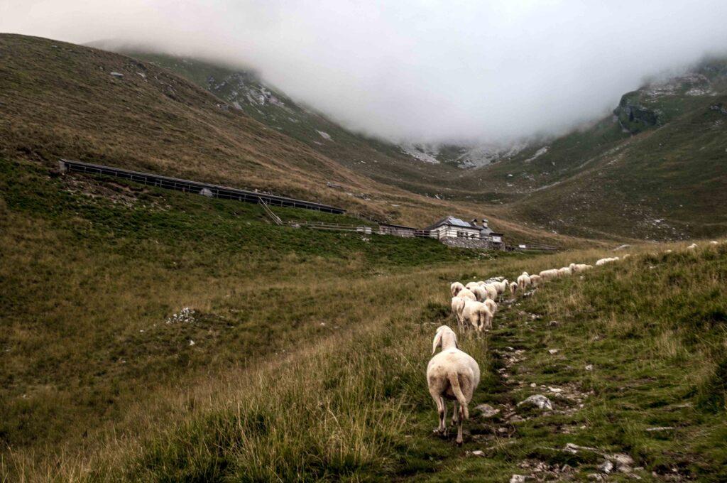 pecore - gregge - monte Serva