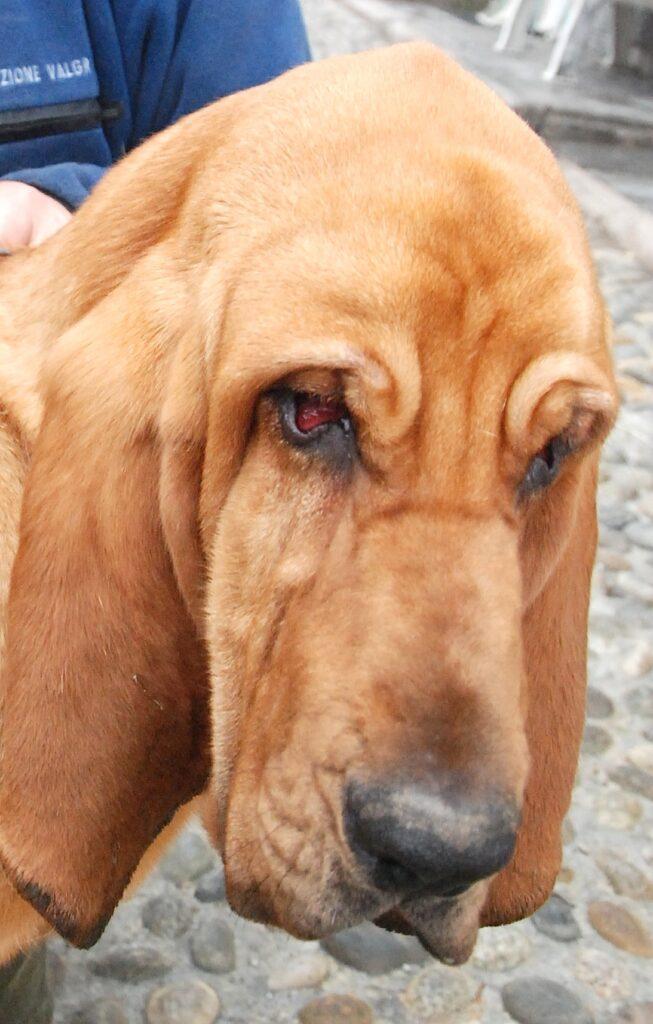 Blood hound Dal Soccorso alpino agli aeroporti: cani anti covid