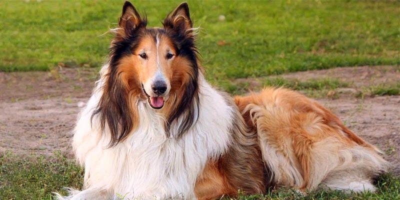 cane da pastore cozzese, cani da montagna, conduzione del gregge